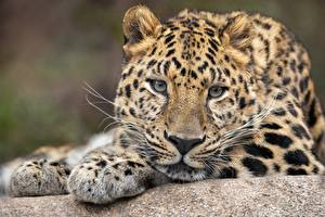 Фотография Леопарды Взгляд Морды Усы Вибриссы животное