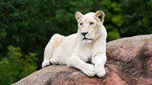 Обои Львица Камни Лежит Белый Животные картинки
