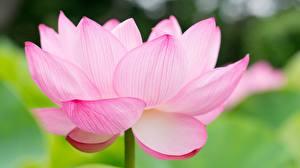Фото Лотос Вблизи Розовая цветок