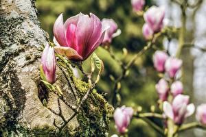 Картинка Магнолия Весенние Розовая Боке цветок