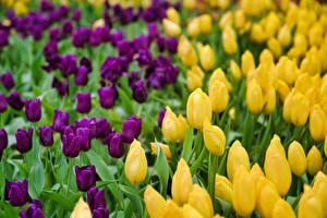 Фото Много Тюльпан Боке Желтая Фиолетовая цветок