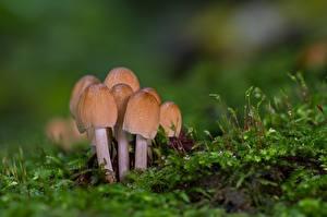 Фотография Грибы природа Мха Боке Tintling Природа