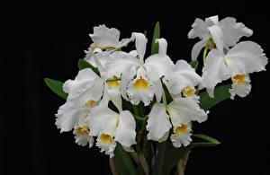 Фотографии Орхидея Вблизи На черном фоне Белая цветок
