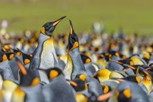 Фотография Пингвины Много Боке King penguin животное