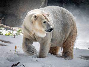 Фотография Полярный Зимние Снега животное