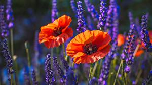 Фото Мак Боке цветок
