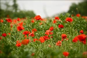Фото Мак Поля Боке цветок
