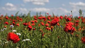 Картинки Маки Поля Красная Размытый фон Цветы