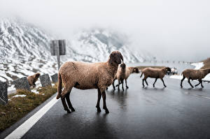 Картинка Дороги Овцы Тумане Асфальта животное