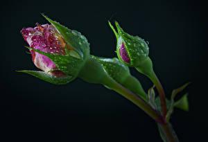 Фото Розы Черный фон Бутон Две Капельки Цветы
