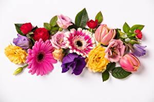 Картинка Розы Тюльпаны Гербера Белом фоне цветок