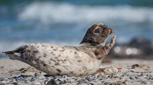 Фотографии Морские котики Позирует Боке Животные