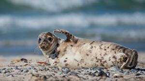 Картинки Морские котики Поза Размытый фон животное