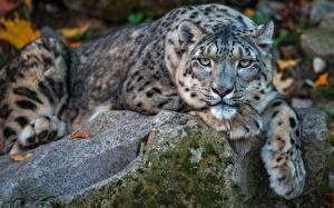 Фотография Ирбис Камни Лежит Лапы Морды Смотрит Животные
