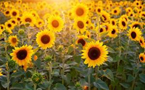 Фотографии Подсолнухи Поля Цветы