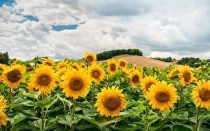 Картинка Подсолнечник Поля Облачно Холм цветок Природа