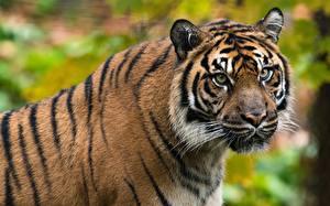 Фотографии Тигр Голова Морды Усы Вибриссы Взгляд животное