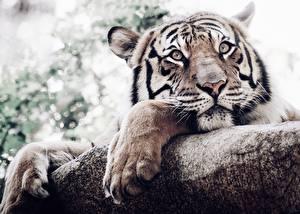 Обои для рабочего стола Тигры Лап Взгляд Морды Животные