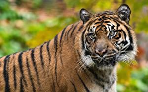 Фотография Тигры Морда Усы Вибриссы Взгляд животное