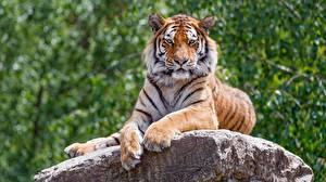 Фотография Тигр Камни Лапы Взгляд Животные