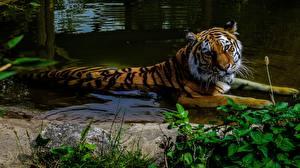 Фотографии Тигр Вода Животные