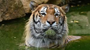 Картинки Тигры Вода Голова Смотрят Морды животное