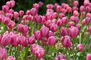 Фотография Тюльпан Боке Розовая цветок