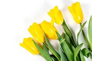 Фотографии Тюльпан Белом фоне Желтая цветок