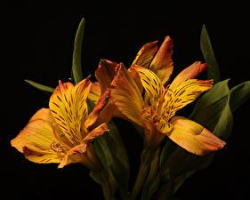 Картинки Альстрёмерия Вблизи На черном фоне Втроем Оранжевая цветок