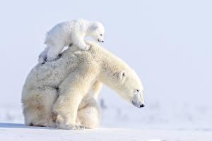 Фотография Медведь Полярный Детеныши