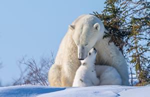 Обои Медведи Северный Детеныши Снега Миленькие