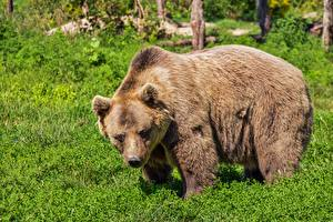 Картинка Медведь Гризли Траве