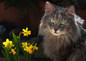 Картинки Коты Нарциссы Морды животное