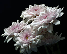 Обои для рабочего стола Хризантемы Вблизи На черном фоне Белых цветок