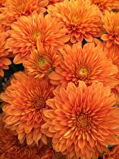 Фотографии Хризантемы Вблизи Оранжевая