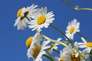 Картинки Крупным планом Ромашки Белый Боке Цветы