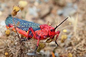 Картинка Крупным планом Кузнечики Насекомое Размытый фон Красный African grasshopper