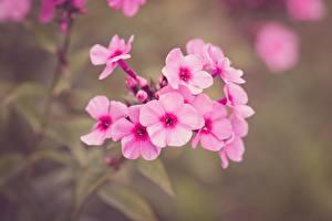 Фотография Вблизи Флоксы Боке Розовая