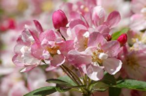 Картинка Вблизи Розовая Капля Сакуры цветок