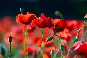 Обои Крупным планом Мак Размытый фон Бутон Красные цветок