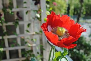 Картинки Вблизи Мак Боке Красная цветок