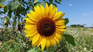 Фото Крупным планом Подсолнухи Желтый Цветы