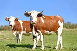 Обои Коровы Траве 2 Взгляд Рога животное