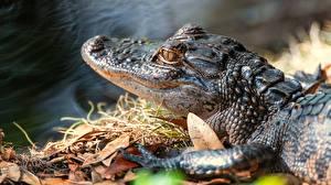 Картинки Крокодилы Животные