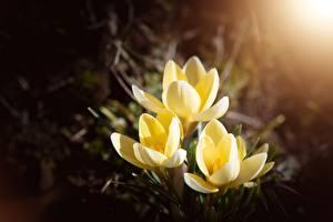 Картинки Шафран Боке Желтая цветок
