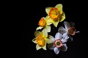 Фото Нарциссы На черном фоне Желтый Белый Цветы