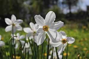 Картинка Нарциссы Вблизи Белый Боке Цветы