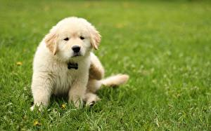 Картинки Собаки Золотистый ретривер Трава Газон
