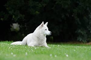 Картинка Собака Трава Белая Лежит Swiss shepherd dog животное
