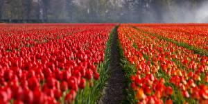 Фото Поля Маки Много Красных Цветы